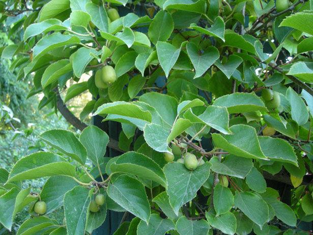 L 39 actinidia arguta le kiwi de sib rie ou le kiwa photo de le jardin des plantes grimpantes - Ou pousse le kiwi ...