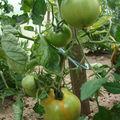 2008 07 02 Mes tomates big stricke Hybride F1
