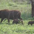 Phacochère et ses petits