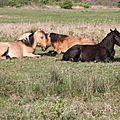 Marquenterre chevaux henson