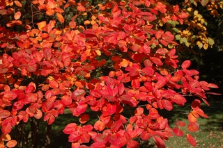 amelanchier-feuillage-automne