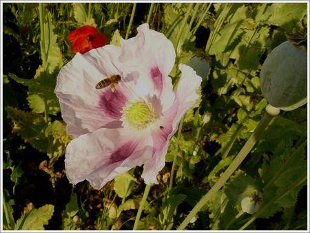 abeille_fleur_pavot_140608