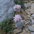 Tabouret à feuilles rondes (Thlaspi rotundifolium)