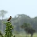 Athene cunicularia minor - chevêche des terriers
