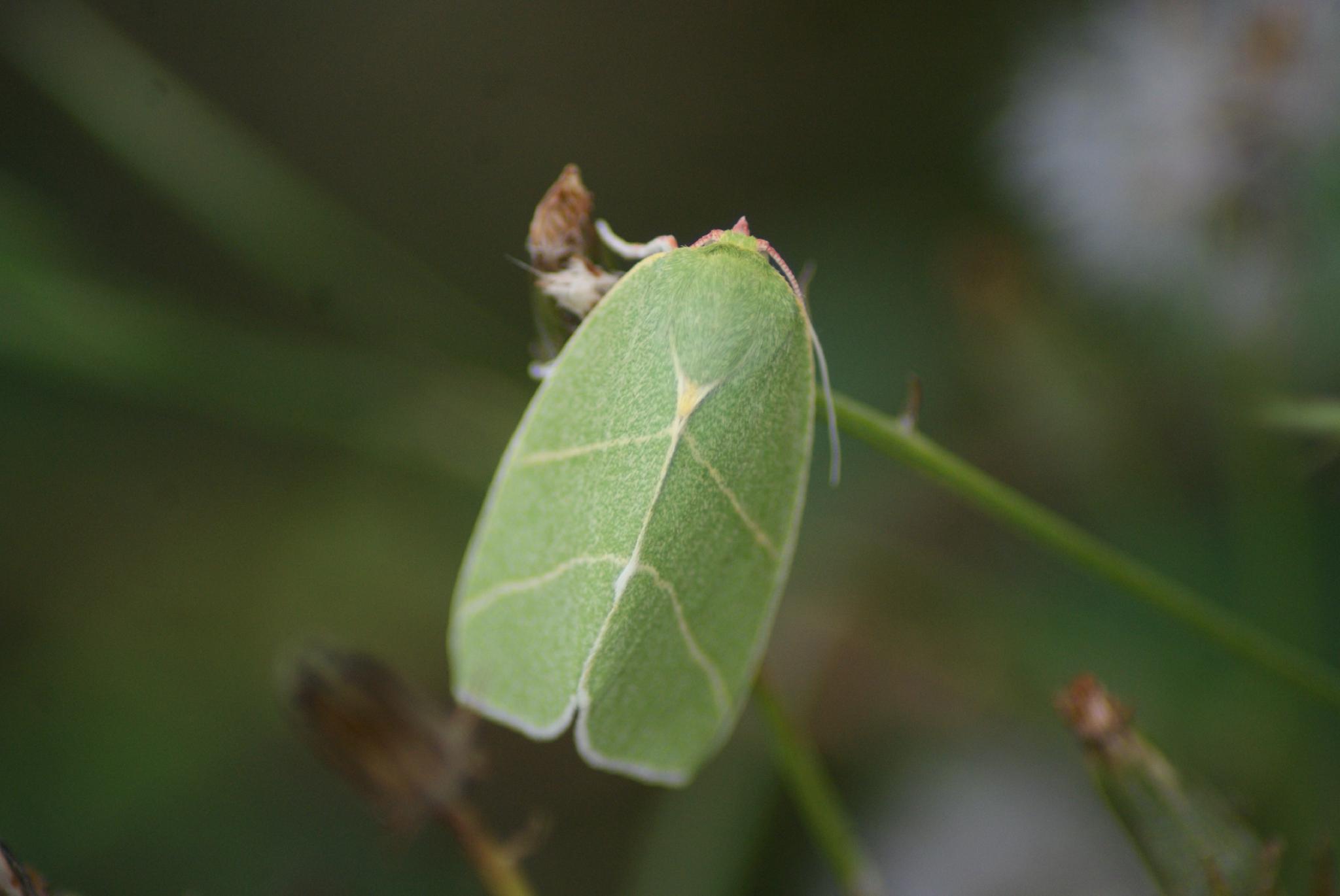 Noctuelles papillons photos for Vers gris noctuelles