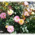roses jaune orange