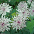 Astrantia major L • Grande Astrance • F/ Apiaceae