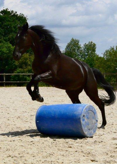 Photo de chevaux noir - Frison qui saute ...