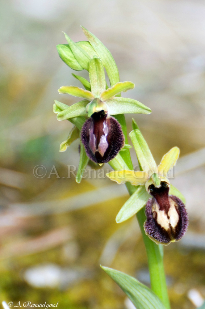 orchidee sauvage reproduction
