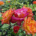 Intermède - mes roses