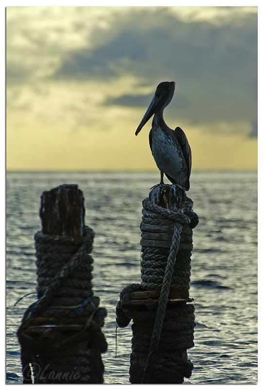 Martinique_2014_pelican_contrejour