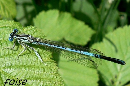 Agrion___larges_pattes