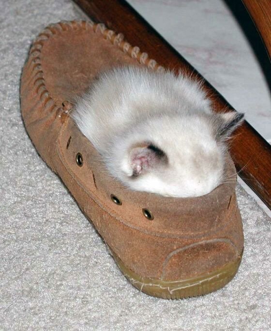 chat_chaussure