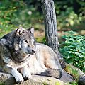 Loup gris d'Europe - Canis lupus lupus (1)