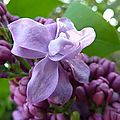 Fleurs de lilas double 2012 (1)