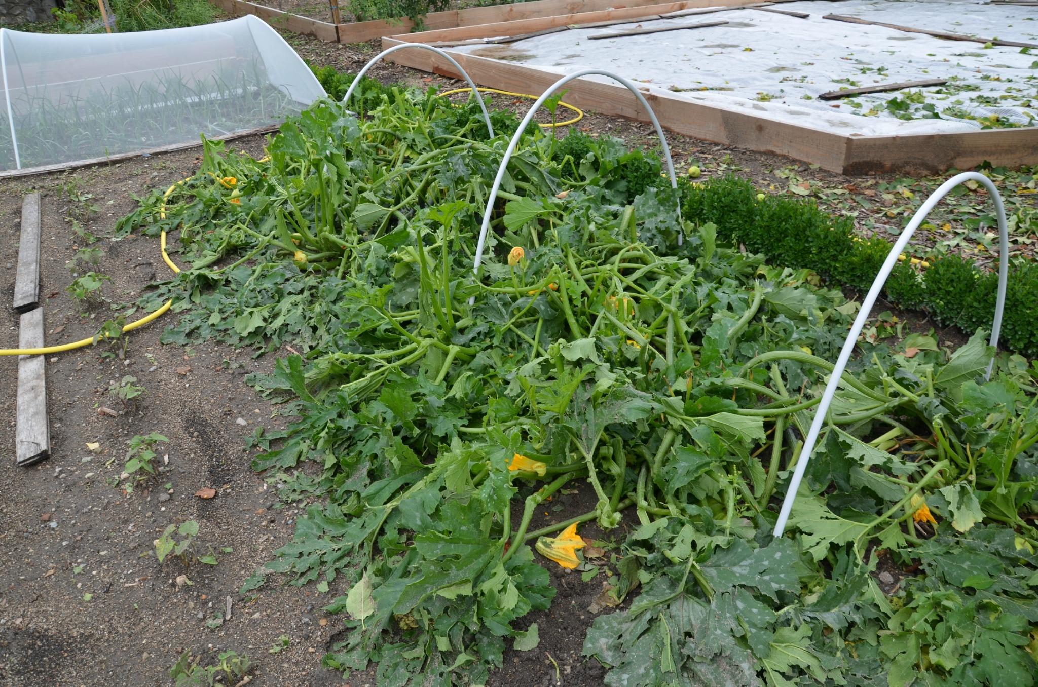 Les courgettes en piteux tat photo de 57 le jardin - Comment congeler les courgettes du jardin ...