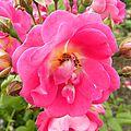 roses_mai-20 (1)