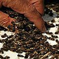 Des millions d'abeilles sont tombées raides mortes, après la plantation d'un champ de maïs ogm