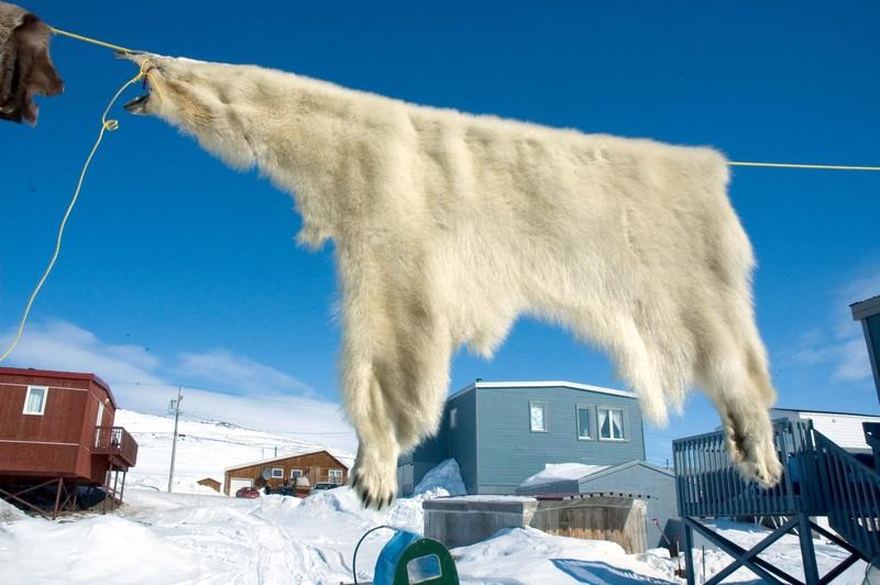 nunavut qikiktarjuaq peau d 39 ours photo de nunavut et le peuple du froid latitude. Black Bedroom Furniture Sets. Home Design Ideas