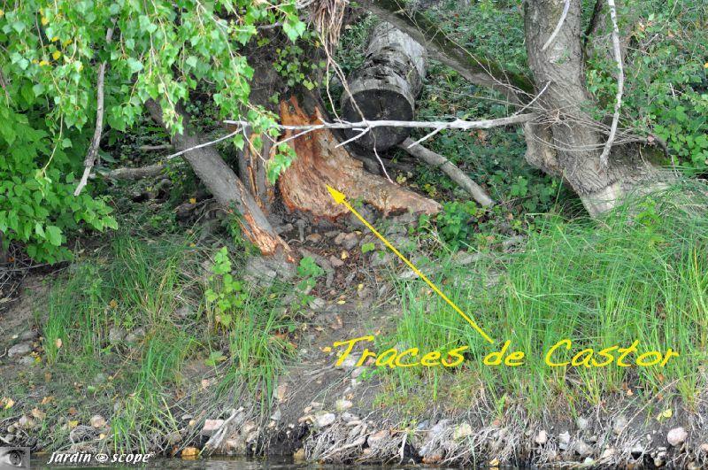 Traces de castor sur tronc d'arbre