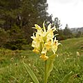 orchis-s-74