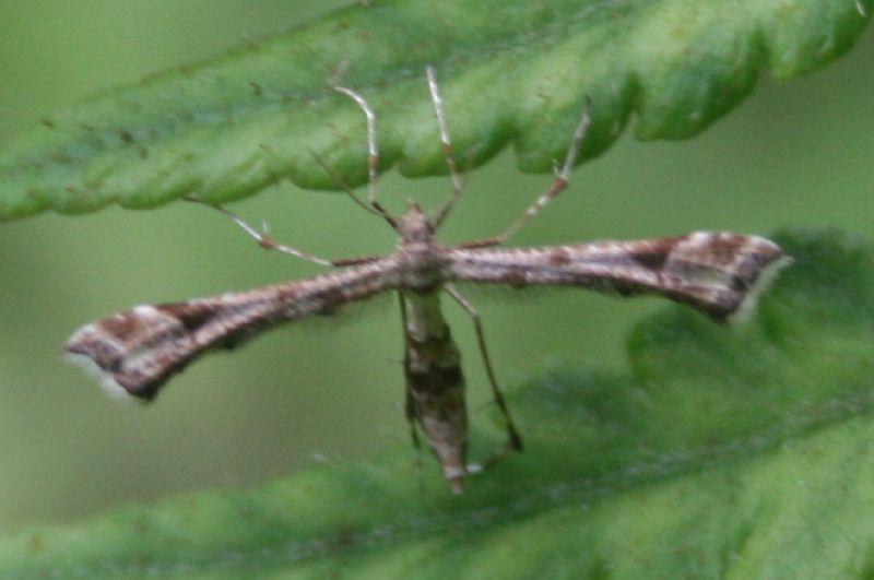 Pterophoridae sp. 04