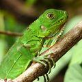 Iguana iguana : iguane vert juvénile