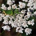 Tettigoniides(sauterelle)
