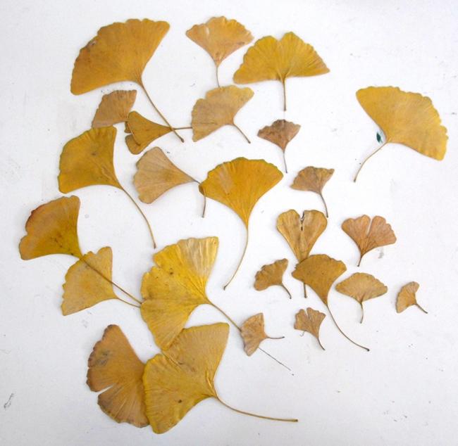 feuilles gingko