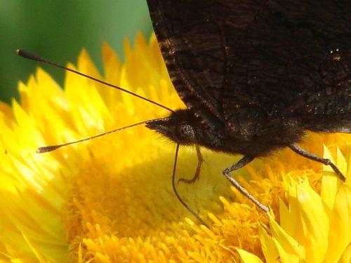 2008 09 10 Un zoom sur un papillon sur une fleur d'immortelle