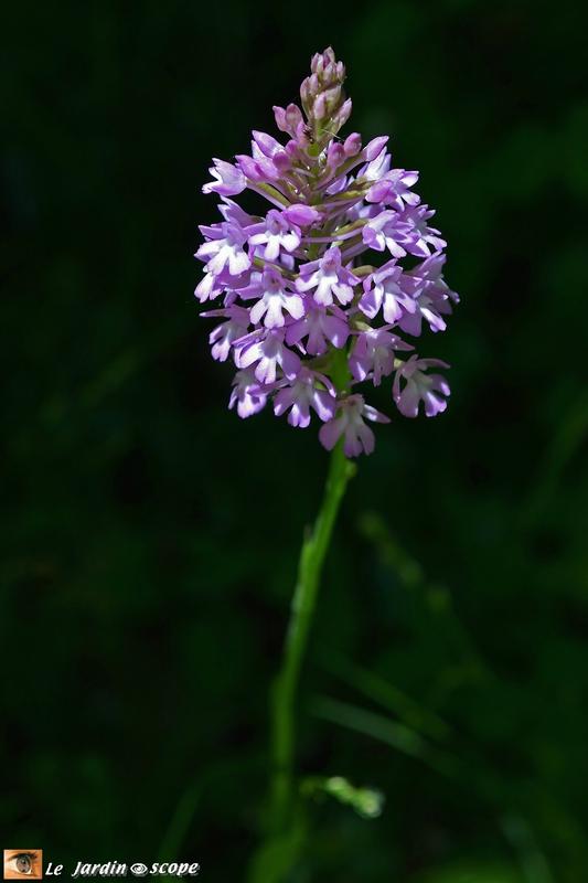 Une orchidée photographiée par le JardinOscope