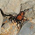 Cyrba algerina mâle