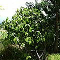 La liane piper nigrum