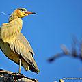 Héron flûte du soleil (syrigma sibilatrix)