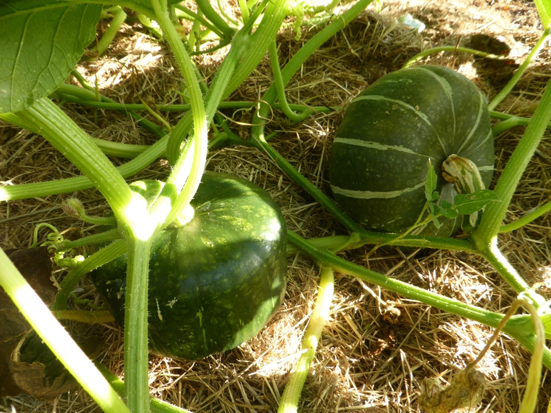 21-courge buttercup (2)