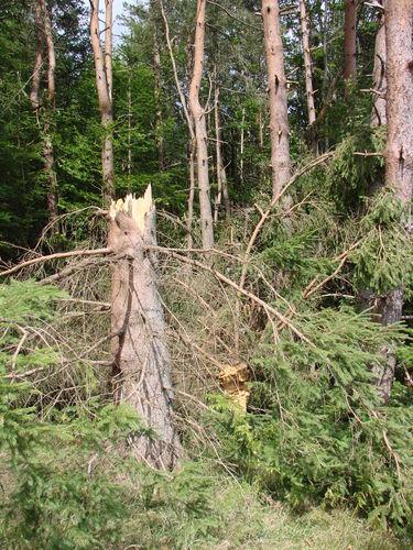 2008 07 21 Un arbre cassé par l'orage de grêle avec tornade il y a 2 semaines