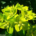 Euphorbia polychroma vert-acidulé