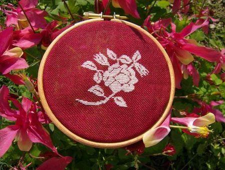 Rose blanche parmis les fleurs rouges du Jardin de m-Caro