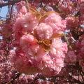 Parc de Sceaux の花見