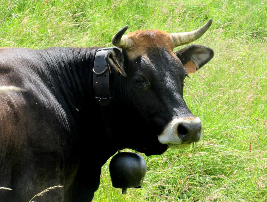 vache noire