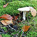 Le champignon coiffé