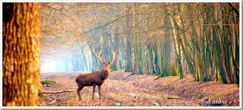 Le cerf (1)