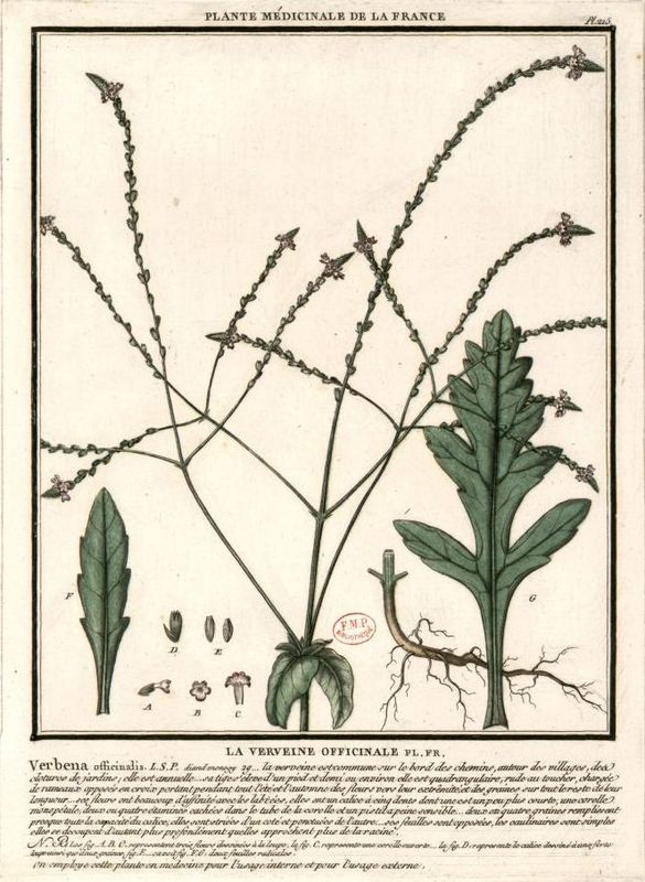Verveine_officinale