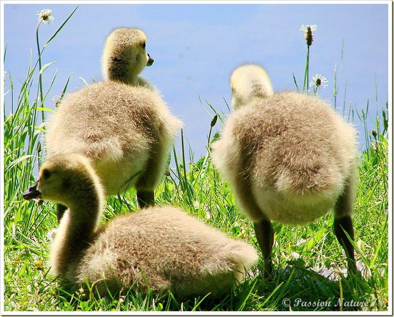 Les bernaches du canada et leurs petits oisons (19)