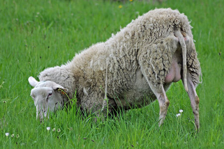 25042009Moutons_0033