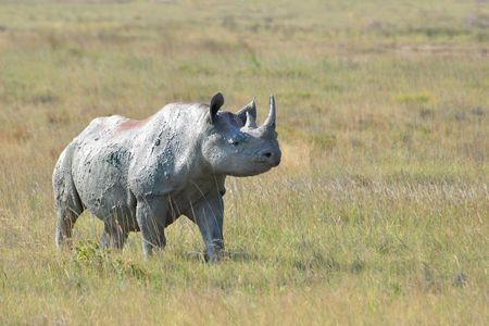 Rhinocéros noir, parc d'Etosha, Namibie (1)