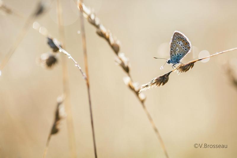 papillon-azuré-15-02