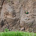 guêpier au nid