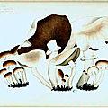 156 Pholiota Agrocybe aegerita, 30 août 1892, dévoré par un Staphylin, l'Oxyporus rufus, Observé le même fait à Avignon (Barthelasse)