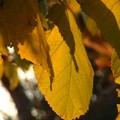 Mûrier à l'automne